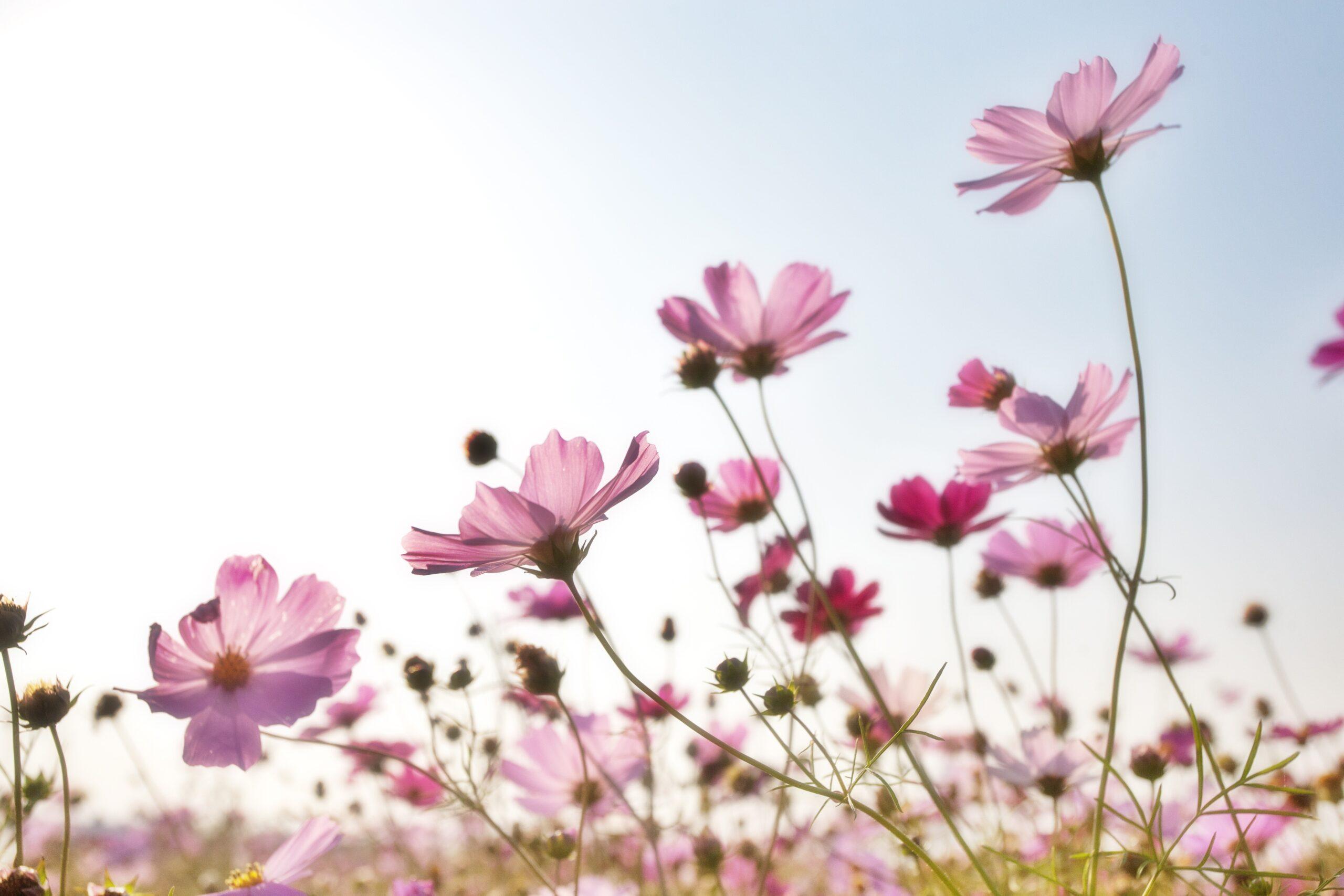 ontwikkelen bloeien